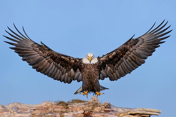 Chiêm bao thấy chim ưng