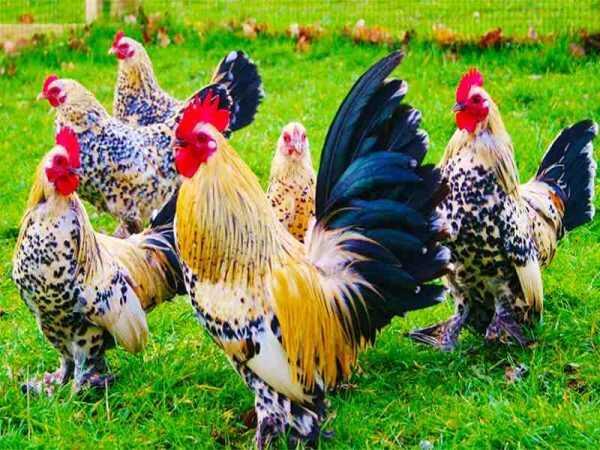 Chiêm bao thấy con gà