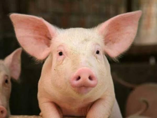 Mơ thấy lợn là điềm hên hay xui? Đánh con số mấy?